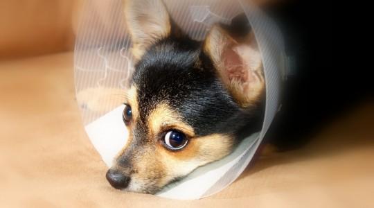 ajuts veterinaris